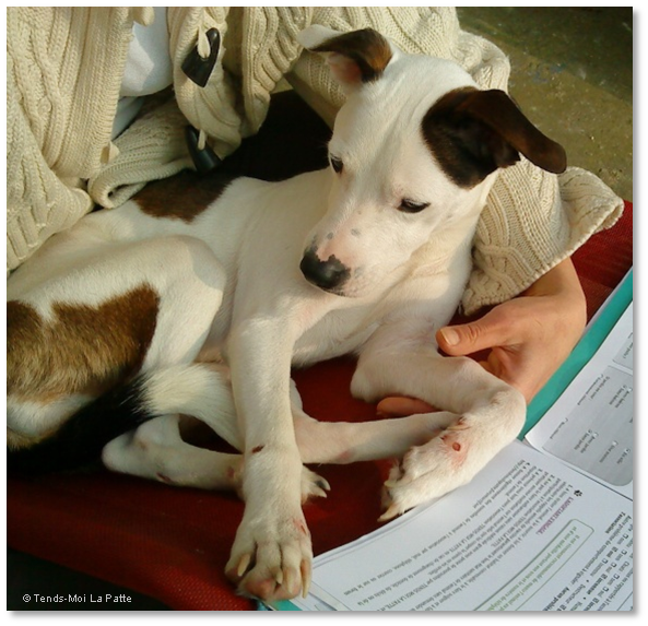 LAURA femelle croisée Lévrier et Dogue Argentin de 3 ans  Laura--co--06-26b30dd
