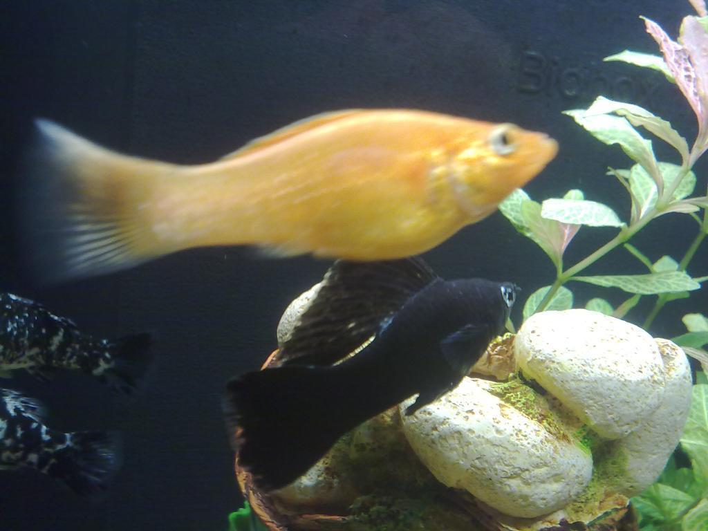 femelle molly enceinte ou pas reproduction forum aquariophilie aquarium aquaryus
