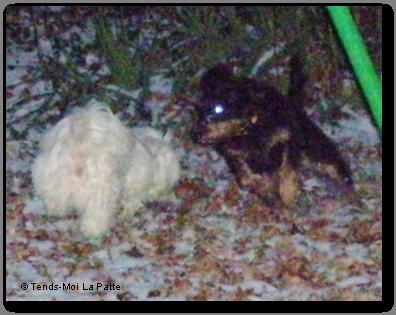 TAURY mâle Coton de Tuléar de 8 ans  Taury---co--04-23276aa