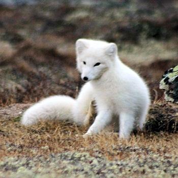 Le renard polaire le d li 39 r my - Renard mignon ...