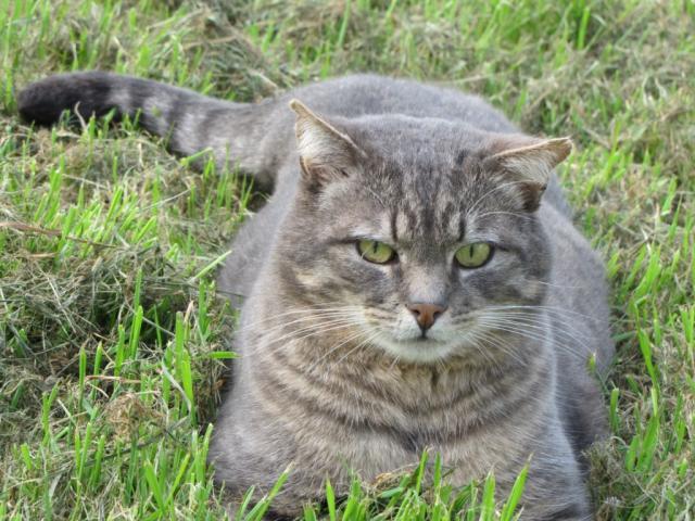 Spider chat tigré gris mâle FIV+ de 08/2005 - dpt 56 Img_0988-278e6bc